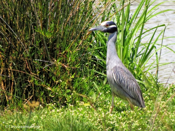 yellow-crowned night heron ud121