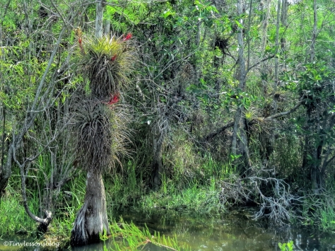 airplants in everglades ud123