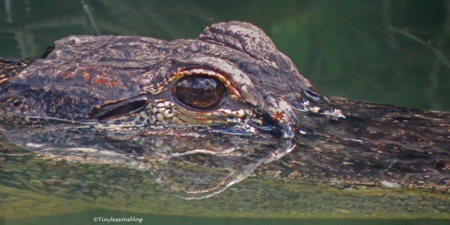 Alligator 2 in everglades ud123