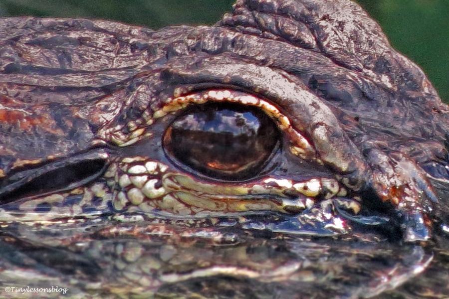 alligator eye 1 ud123