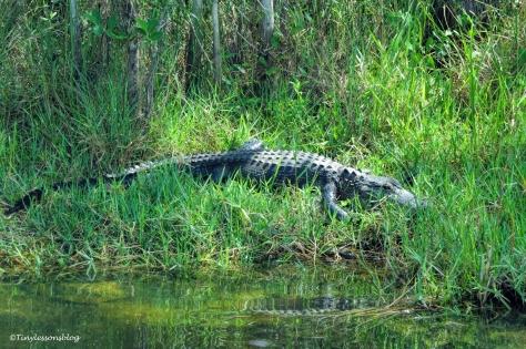 Alligator in everglades on the roadside ud123