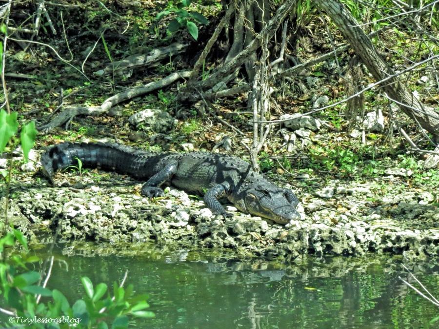 alligator sunning itself ud123