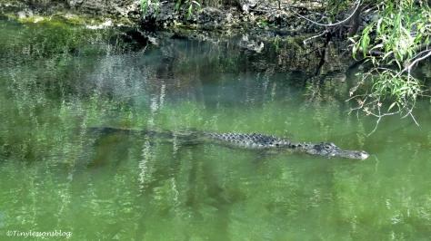 alligator swimming in everg;ades ud123