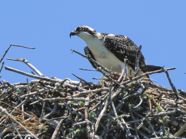 an Osprey chick in Everglades 2 ud123