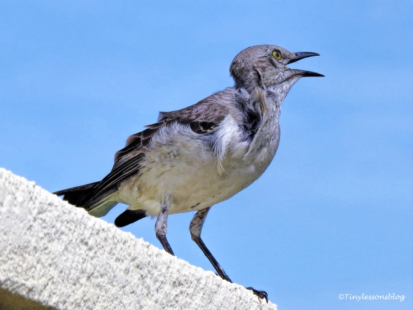 baby northern Mockingbird ud125