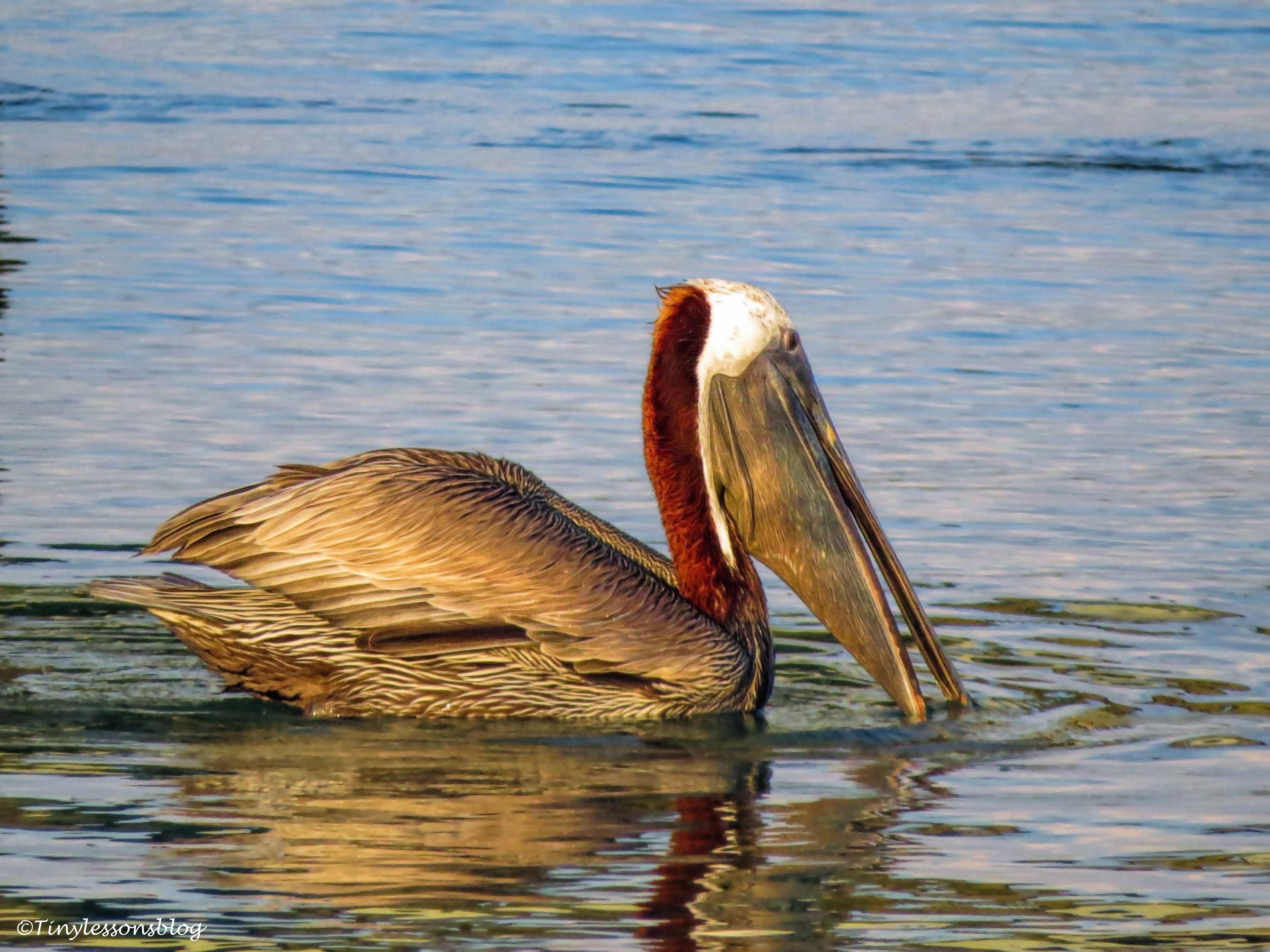 brown pelican 2 eats ud125