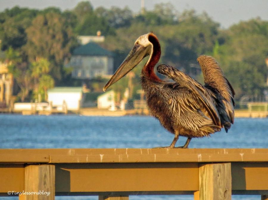brown pelican ud125