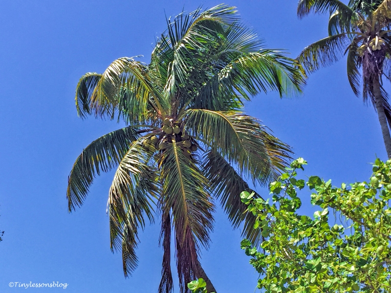 cocos palms in Everglades 2 ud123