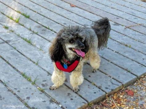 Dylan at the dog park ud125