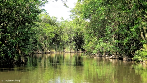 Everglades mangrove forest ud123