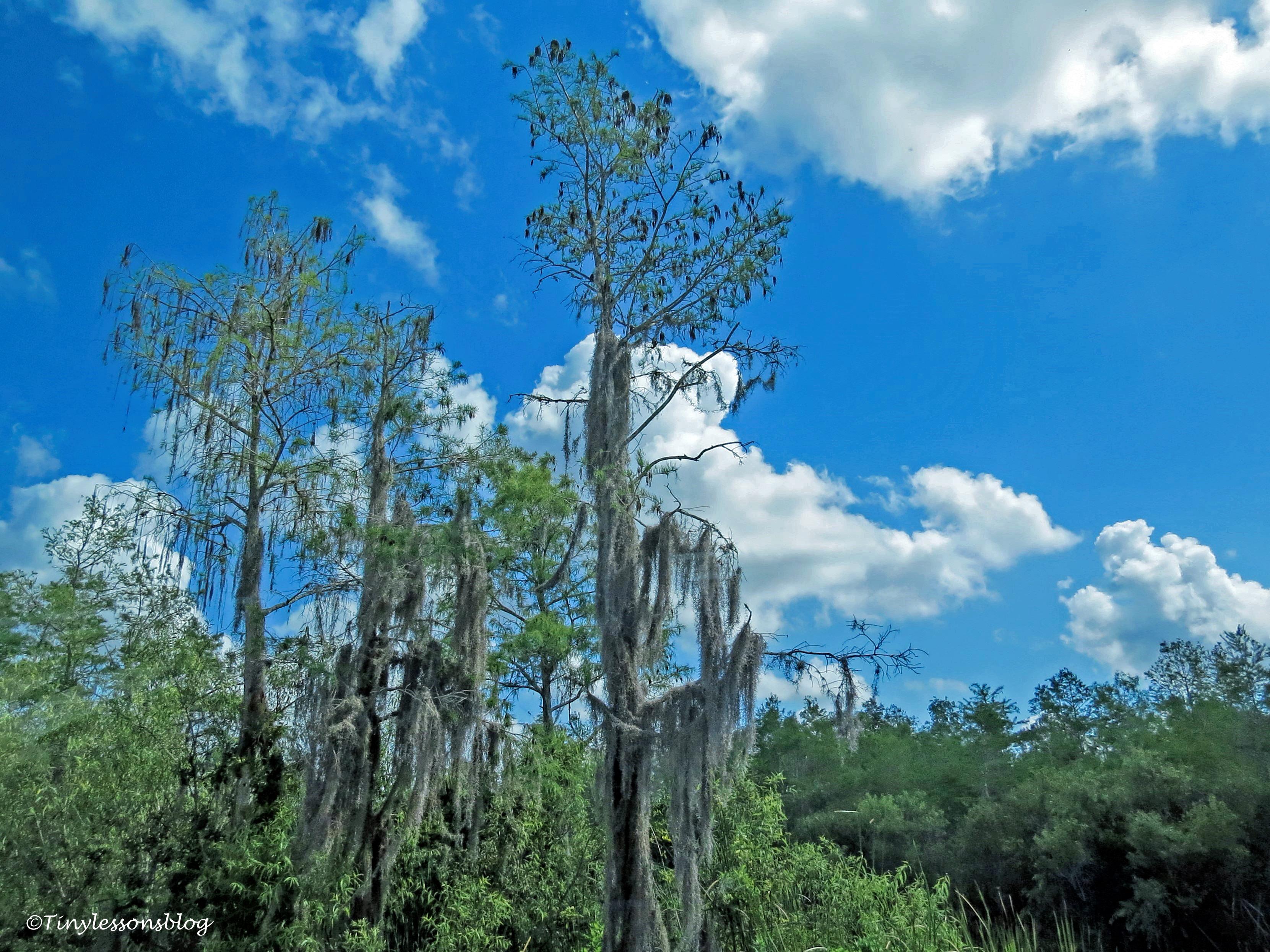 everglades trees ud123