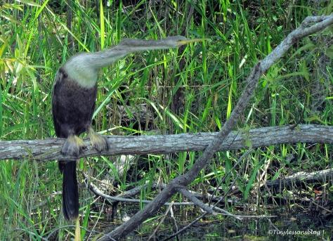 female anhinga 2 in Everglades ud123