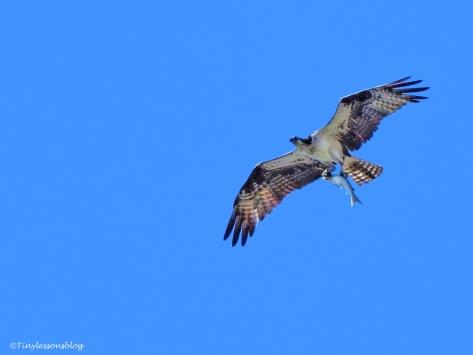 female osprey with a fish 2 ud126_edited-1