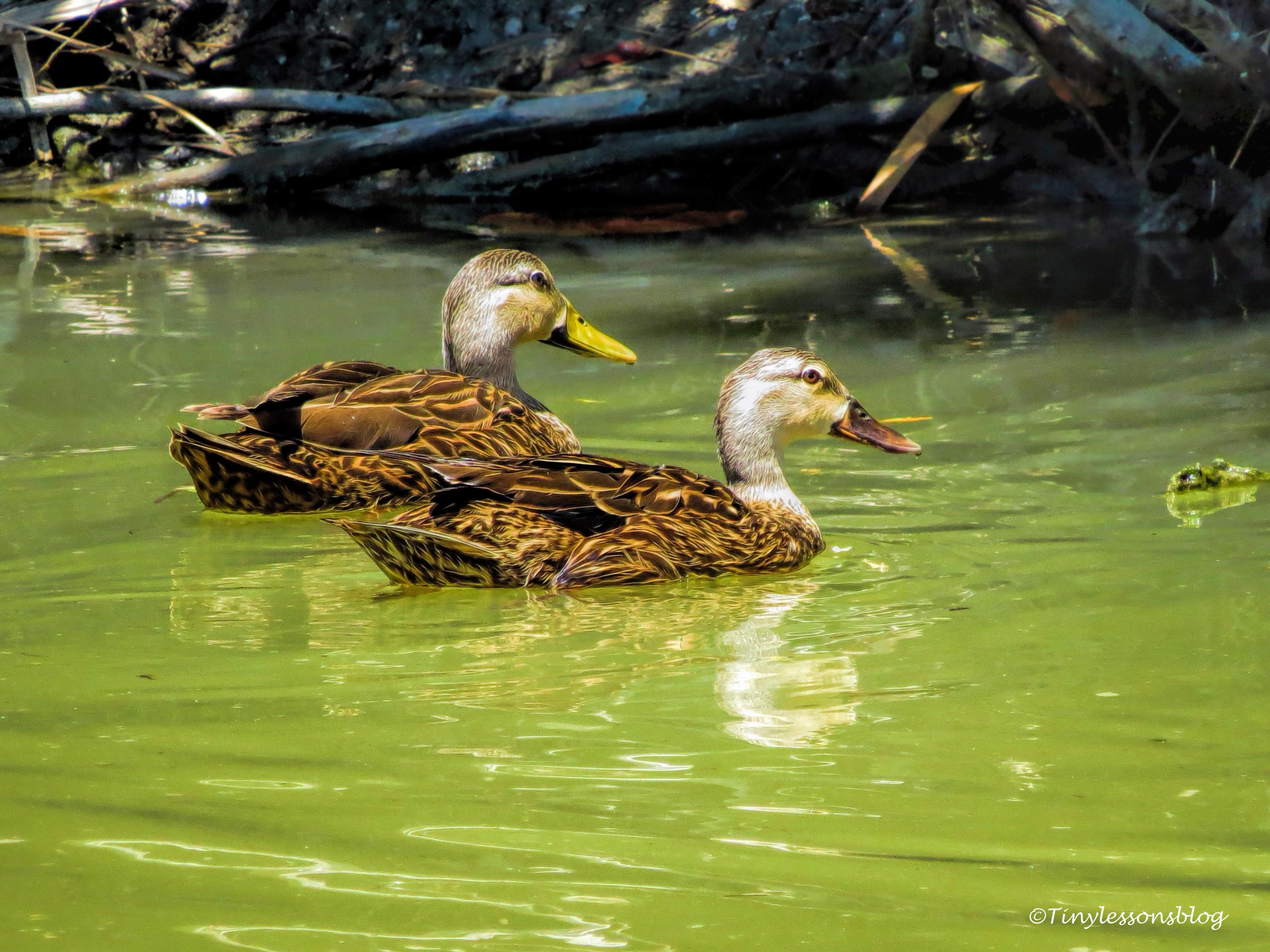 florida mottled ducks ud125