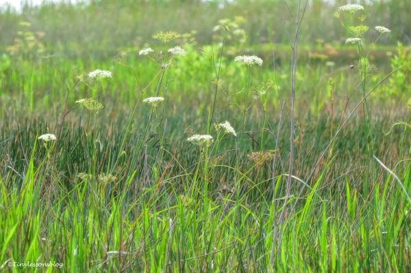 flowering Everglades ud123