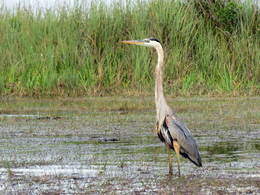 great blue heron in Everglades ud123