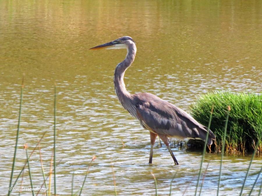 great blue heron ud126