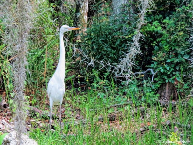 great egret in Everglades ud123