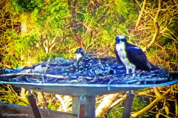 grieving mama osprey ud124