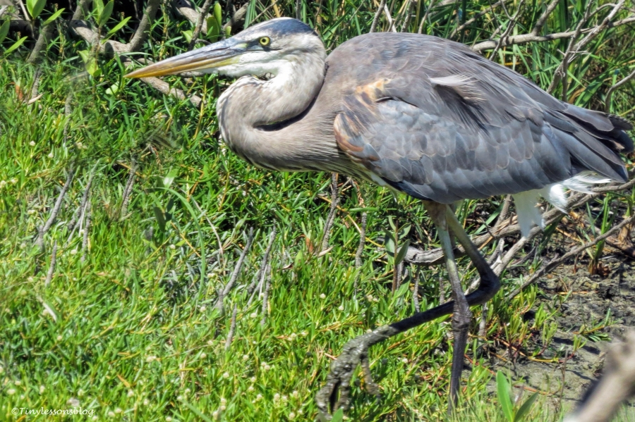 harry the young great blue heron ud124