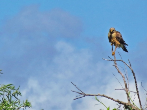 Hawk in the Everglades ud123