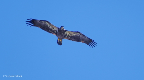 juvenile bald eagle 3 ud126
