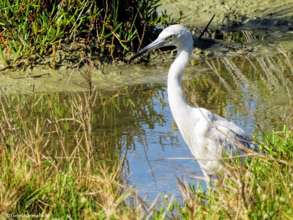 juvenile little blue heron 2 ud126