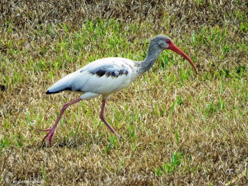 juvenile white ibis ud125