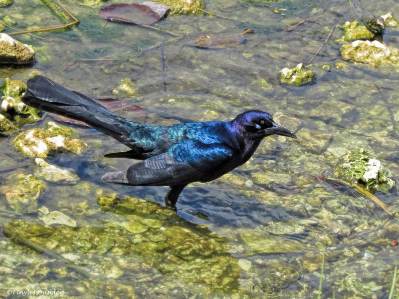 male boat-tailed grackle ud123