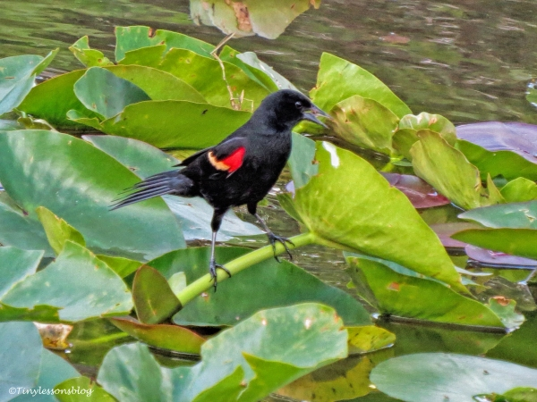 male red-winged blackbird ud123