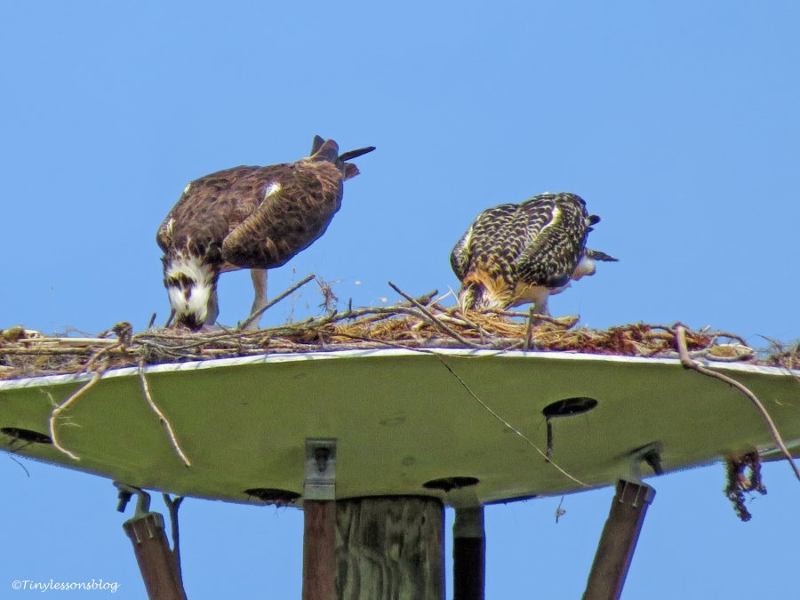 mama osprey and chick are eating ud125_edited-1