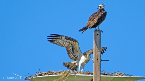 mama osprey and chick at the nest ud126_edited-1