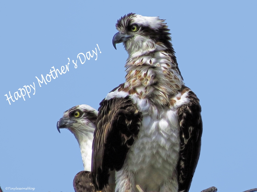 mama osprey and papa oprey mothers day ud124