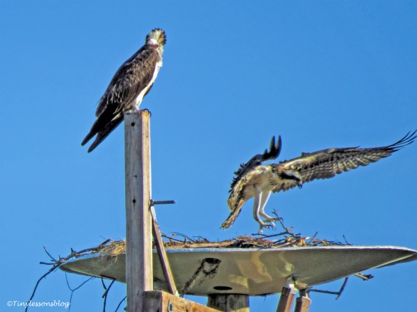 mama osprey and the chick sat evening May 27 ud126