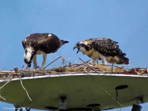mama osprey and the chick ud125_edited-1