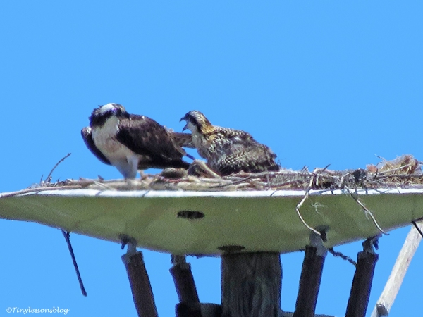 mama osprey and the remaining chick ud124