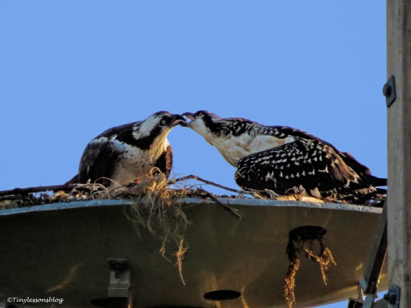 mama osprey feeds the chick ud125_edited-1