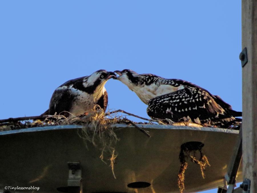 mama osprey feeds the chick ud125_edited-1