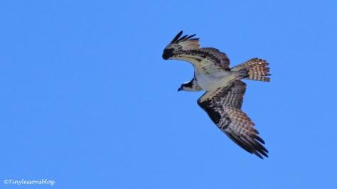 mama osprey flies around the nest ud125