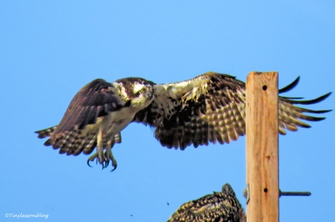 mama osprey flies up to the perch 2 ud124.jpg