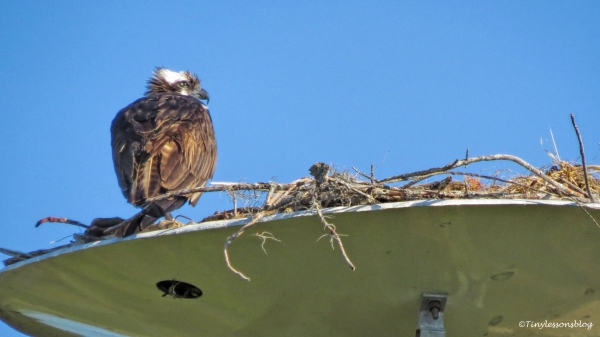 mama osprey is grieving ud124