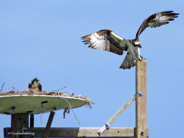Mama osprey lands on the perch ud125