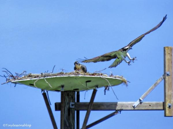 Mama osprey returns ud125