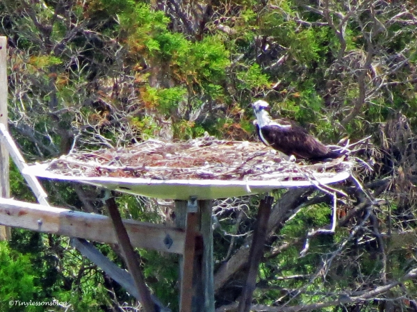 Mama osprey waiting for chick ud126