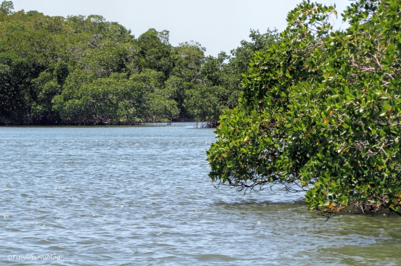 mangrove forest in everglades ud123