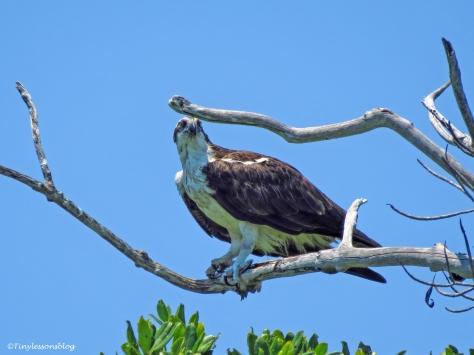 mother osprey in Everglades ud123