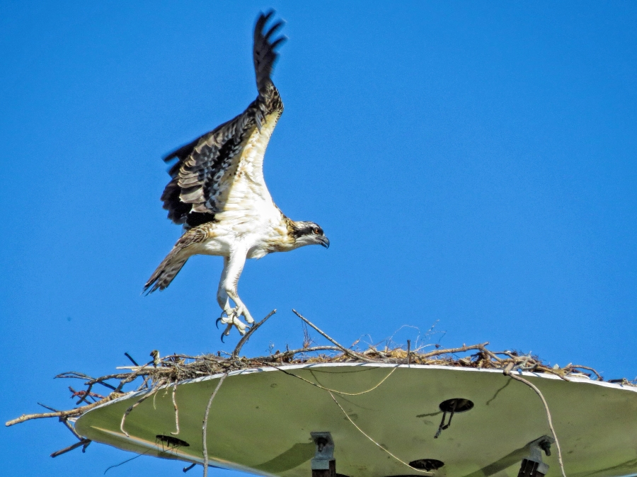 ospery chick lifts off ud126