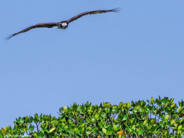 osprey 1 in Everglades ud123