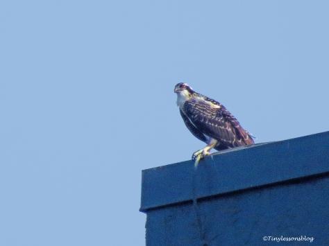 osprey chick 2 at Marriott ud126