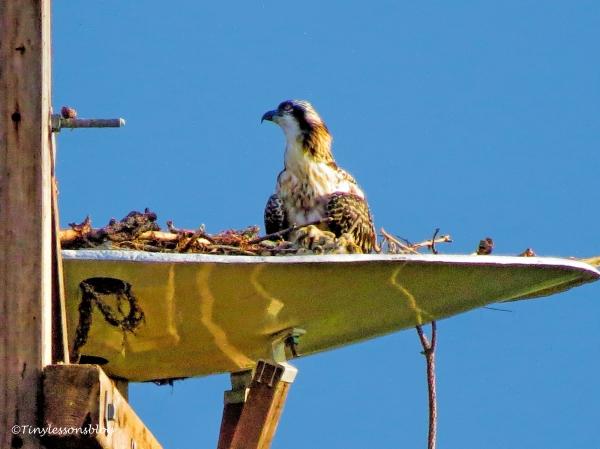 osprey chick at sunrise ud125